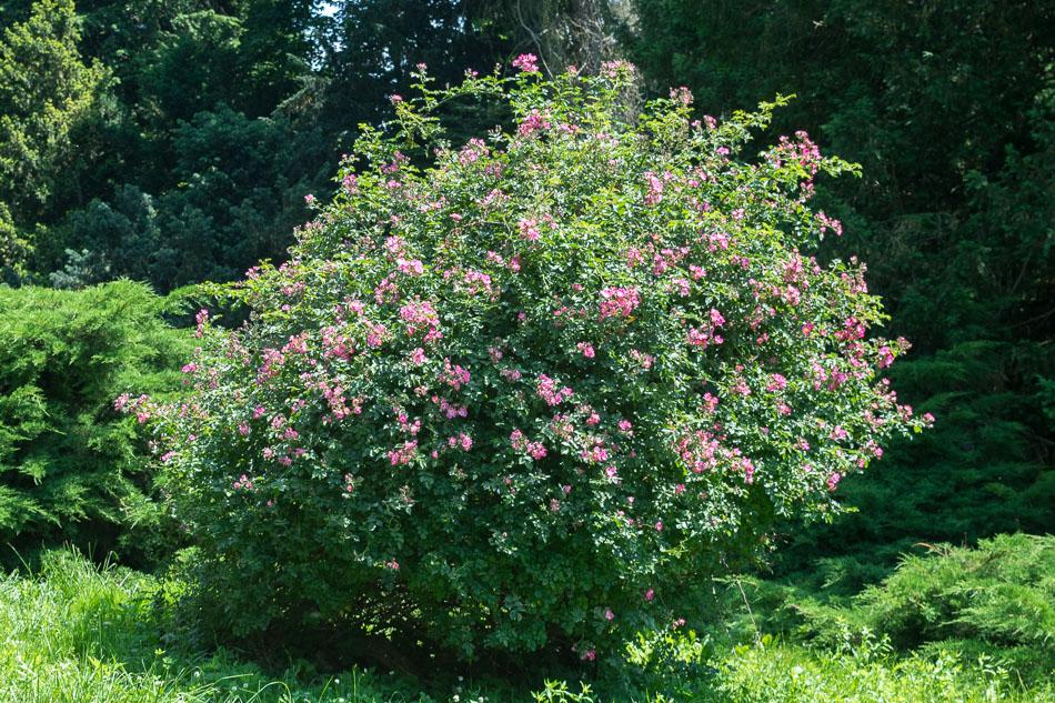 Galska ruža