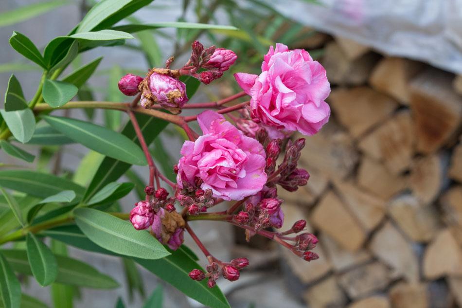 oleander-0011