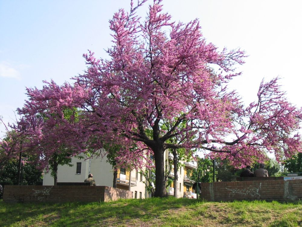 Judino drvo