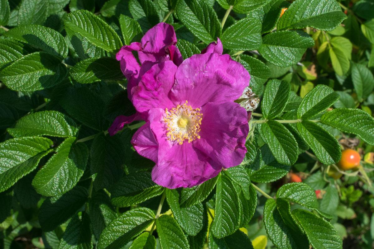 Krumpirova ruža