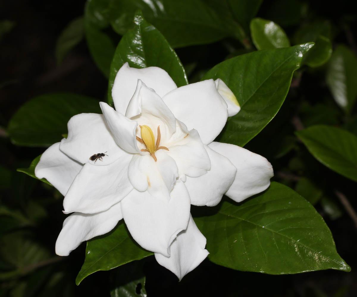 gardenija-1