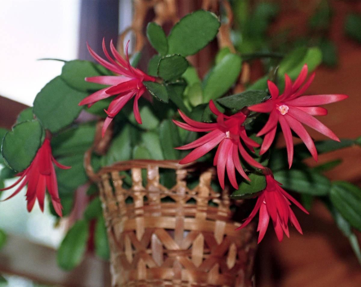 Uskršnji kaktus