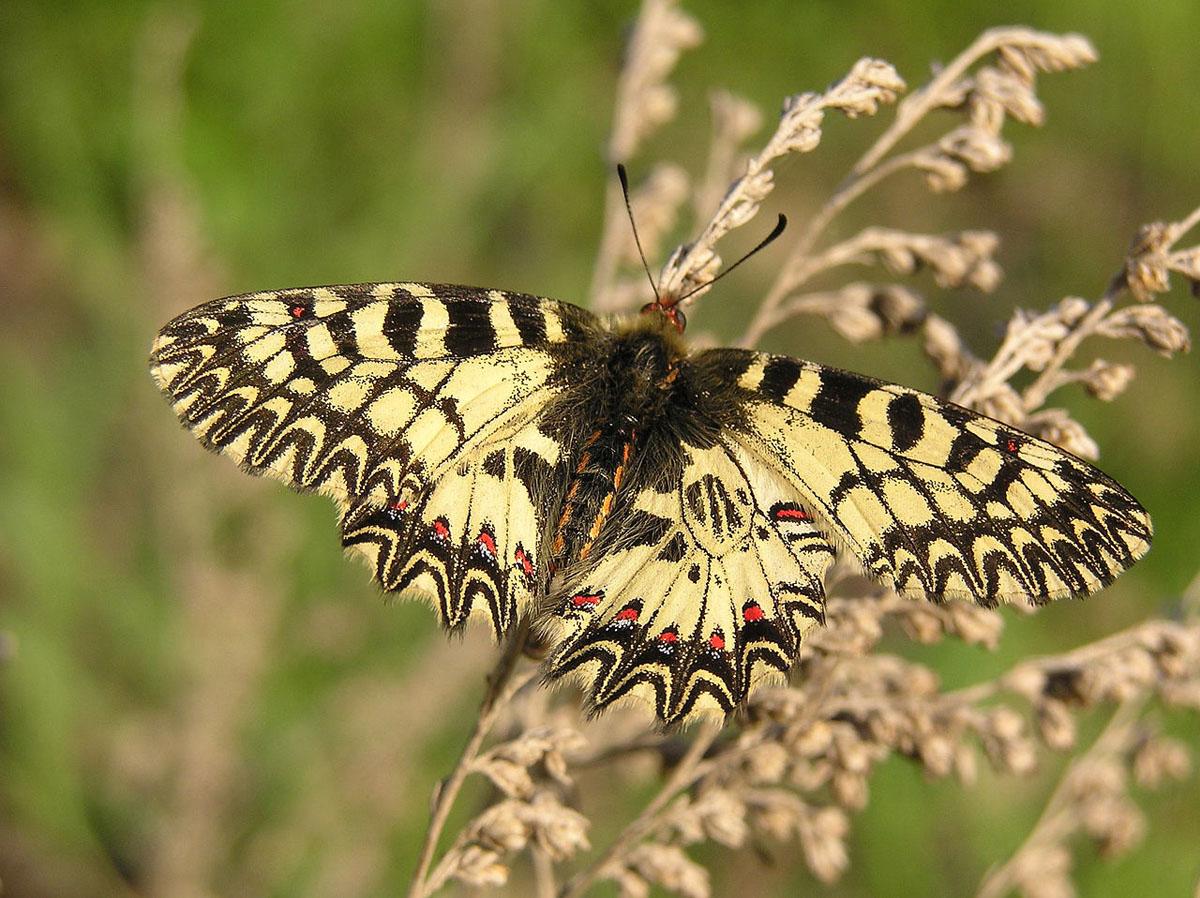 Uskršnji leptir