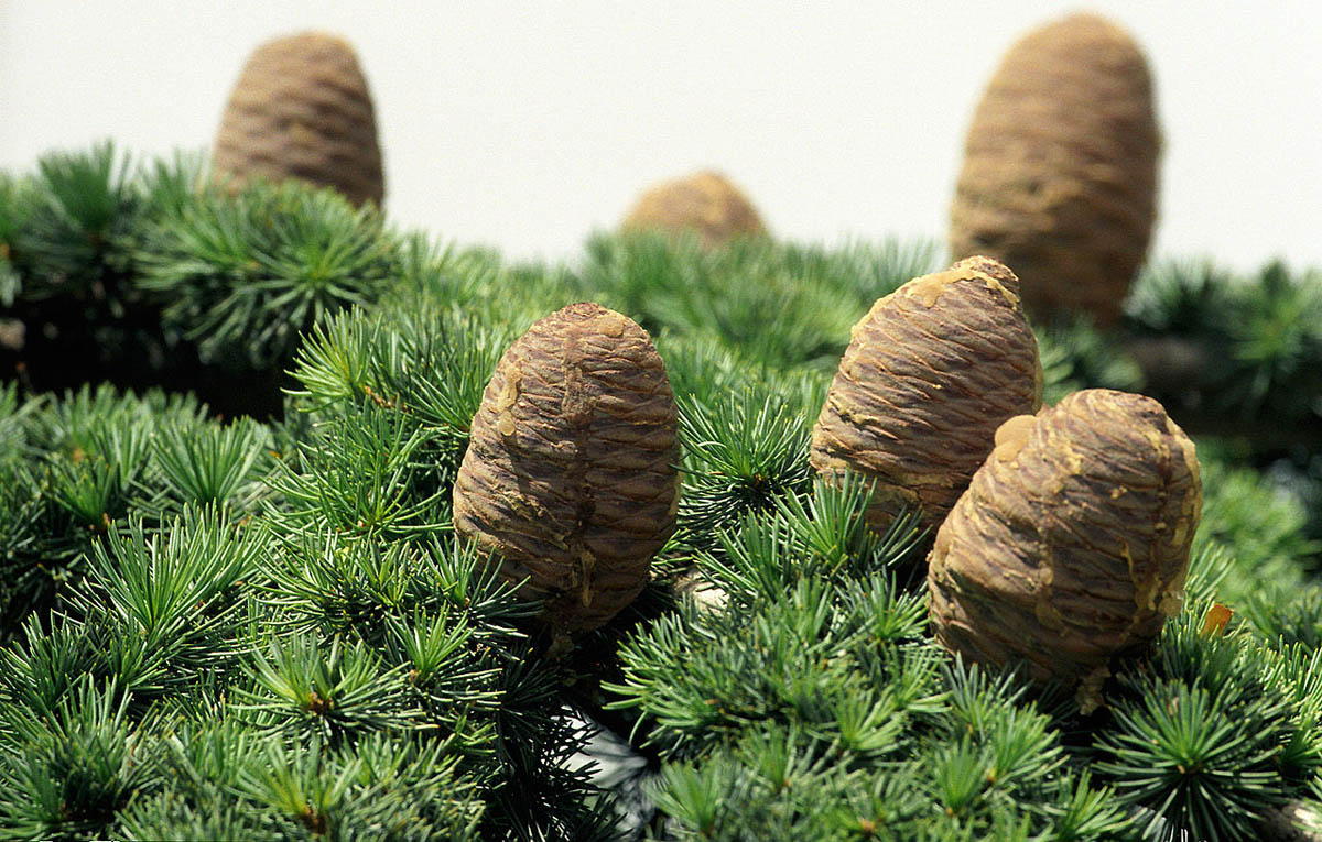 Libanonski cedar