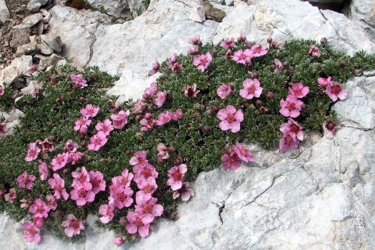 Triglavska ruža