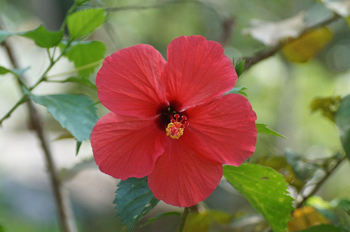 Tropski hibiskus