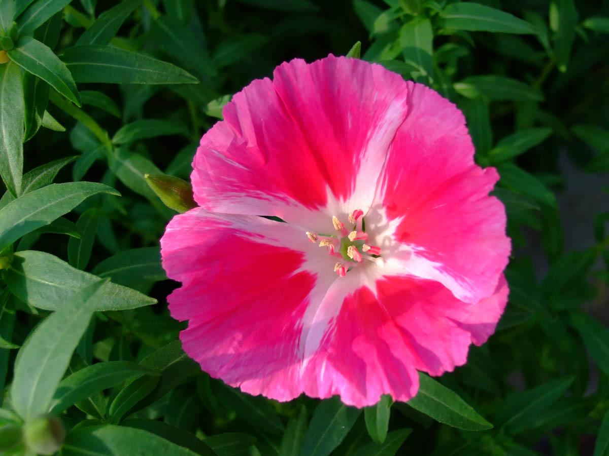 Atlasov cvijet