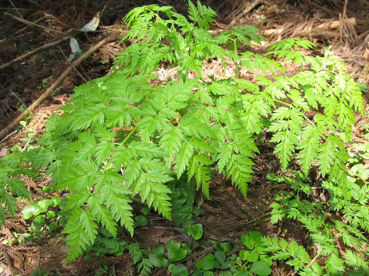Šumska krasuljica